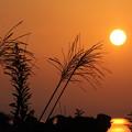 夕日浴びるススキ