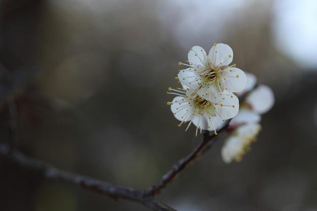 白梅が咲きだす