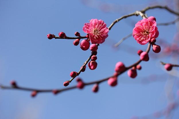 紅梅も咲きだす