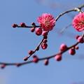 写真: 紅梅も咲きだす