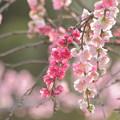 Photos: 桃咲く頃