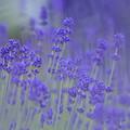 写真: 煙る紫