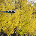 Photos: いちょう並木