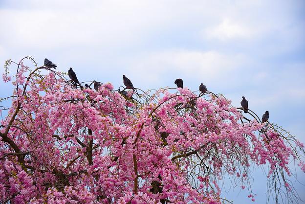 鴿子與垂櫻