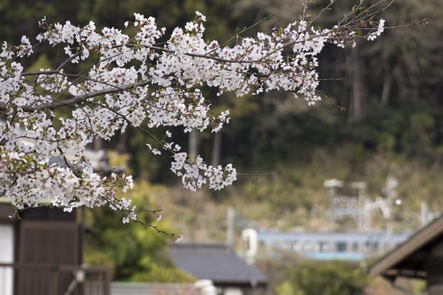 この桜に気付いているかしら