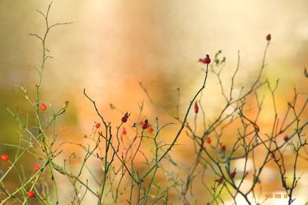 バラの秋♪