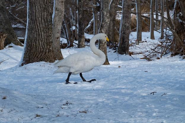 写真: 白鳥のお散歩