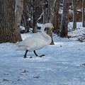 白鳥のお散歩
