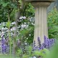 サクラソウのお庭