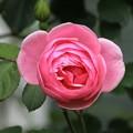 隣の家の薔薇は美しい