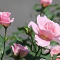 写真: 美しい薔薇を見ながら到達した結論