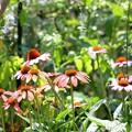 エキナセアの咲く庭