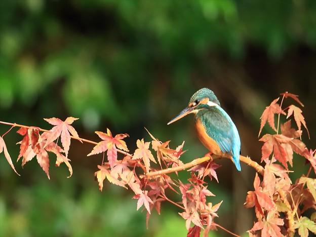 写真: 紅葉カワセミ 898A7952_R