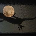 写真: 月面にヤモリの足