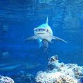 Photos: サメのボディーガード