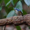 Photos: 青い鳥♪