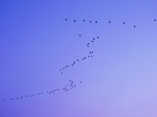 白鳥の渡りと利尻富士_3