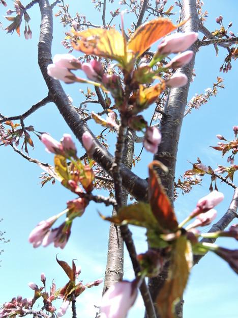A1_桜咲く