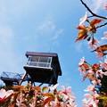 最北の小さな千島桜_2