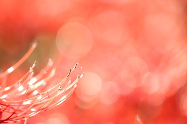 写真: 蕊からこぼれるLULULU