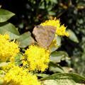 写真: 蝶> ムラサキ シジミ:セイタカ アワダチソウに←2
