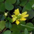 花> カタバミ:八重!:なみのは花びら5枚←8