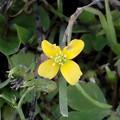 花> カタバミ:4枚!の花びら:なみより-1枚←8