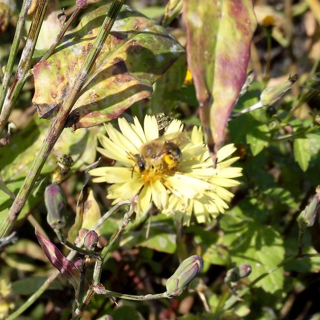 ハチの類:アキノ ノゲシに←8