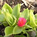 花> ハナヅルソウ (花蔓草):別名はアプテニア、ベビーサンローズ←3