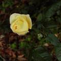 花> バラ.11月中旬に撮りました←4