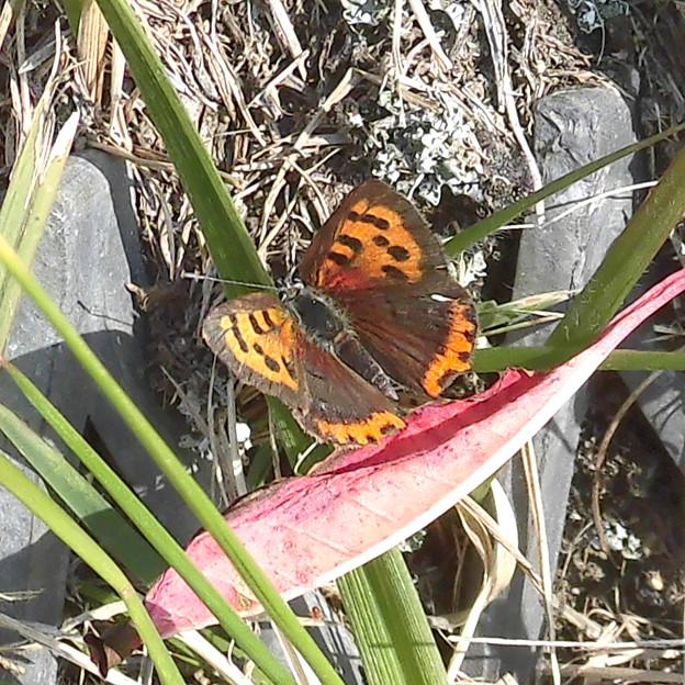 写真: 蝶> ベニ シジミ:12月上旬に撮りました←9
