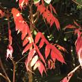紅葉> ハゼノキ←4 (2)