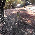 蜘蛛> ジョロウ グモめす:12月中旬に撮りました←1