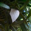 蝶> ウラギン シジミ:イヌ マキの葉裏に12月中旬に撮りました←1
