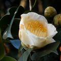 写真: 花> ツバキ←5