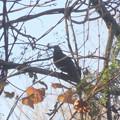 写真: 鳥> ヒヨドリか←7