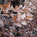 写真: 散らない枯れ葉> ヤマ コウバシ(と名札)←7