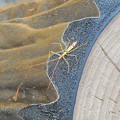 カメムシの類の幼虫か:12月下旬に撮りました←7