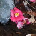 落ちた花> ツバキ:水面に←4