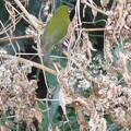 写真: 鳥> メジロ←4