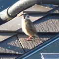 写真: 鳥> スズメ←5
