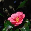 写真: 花> ツバキ←7