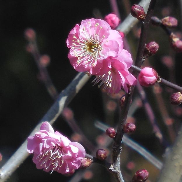 花> ウメ.:紅梅←8