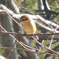 Photos: 鳥> モズ.←8