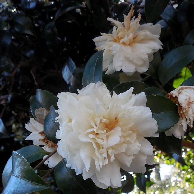 花> サザンカ:白←1