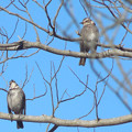 鳥> ツグミ←2 (2)