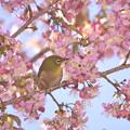 写真: もう桜が