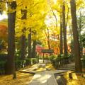 モミジの大田黒公園