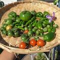 Photos: 収穫野菜12