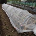 Photos: 白菜の植え付け5